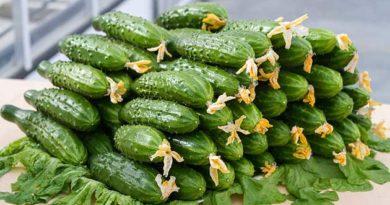 Як вибрати огірок для теплиці