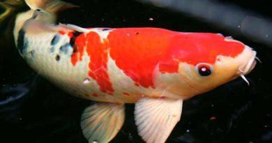 Риба-довгожителька