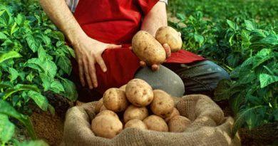 Урожай картоплі у червні