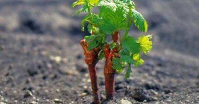 Виноградник у березні