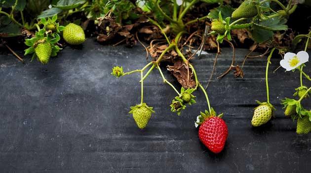 Вибираємо розсаду полуниці
