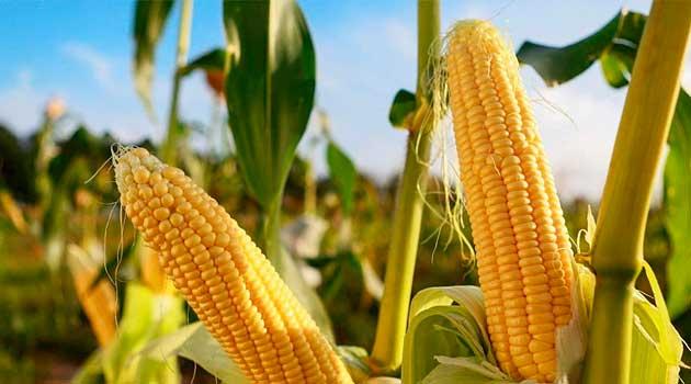 Посійте цукрову кукурудзу