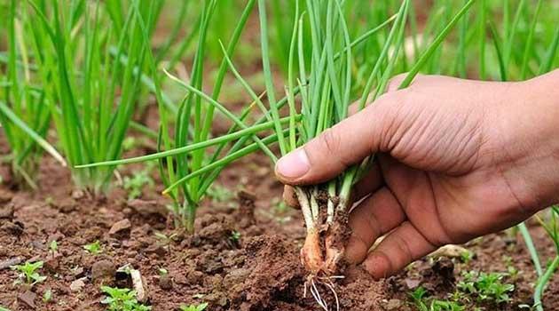 Проріджуйте посіви цибулі
