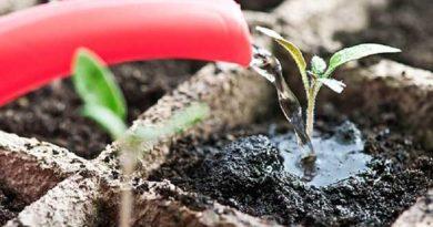 Секрети поливу і підживлення розсади
