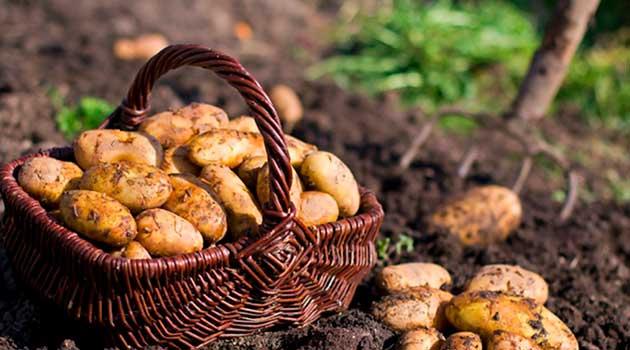 Що любить картопля