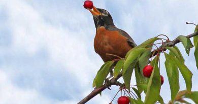 Вигнати птахів із городу можна шумом