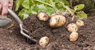 Коли підкопувати картоплю