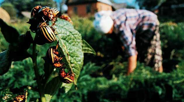 знищення колорадського жука