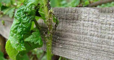 Жорстке листя не на зуби попелиці