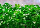 Зелень петрушки на підвіконні взимку