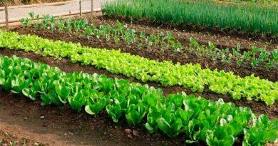 Холодостійкі овочі, які варто передусім садити навесні