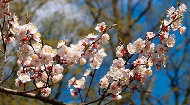 Цвітуть абрикоси