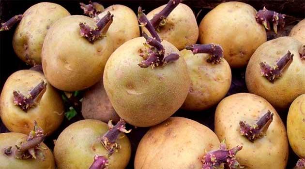 Як правильно підготувати картоплю до посадки