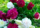 Квіти піони