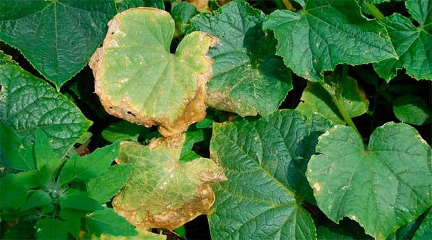 чому жовтіє листя огірків