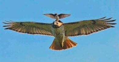 Орел навчає орлятко літати