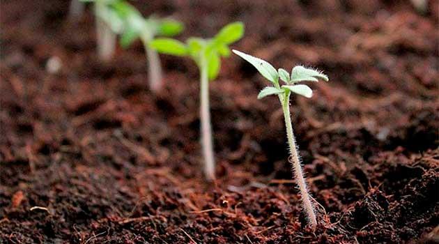Посів насіння помідорів у відкритий грунт