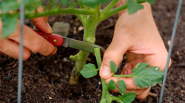 Яке листя потрібно видаляти у помідорів