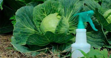 Чим обробити капусту від шкідників