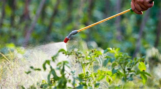 Обприскування кущів помідорів борною кислотою