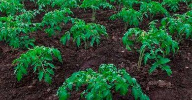 Підгортання томатів