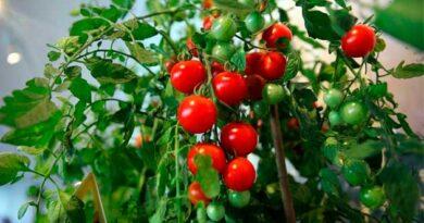 Секрети смачних помідорів
