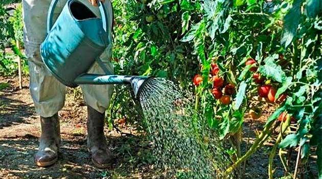 Полив помідорів