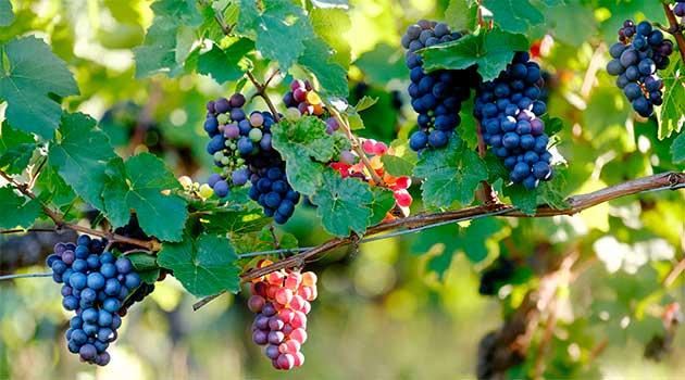 Гарний врожай винограду