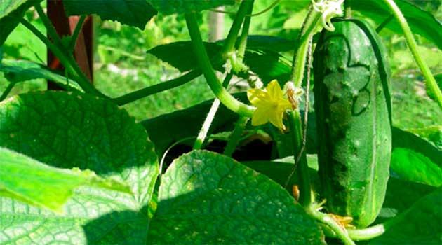 Чому урожай огірків виявився замалим