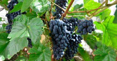Гарний урожай винограду