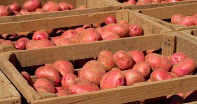 Секрети зберігання насіннєвої картоплі