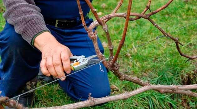 Обрізка виноградника