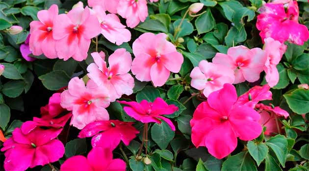 Бальзамін цвіте все літо