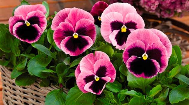 Квіти братки
