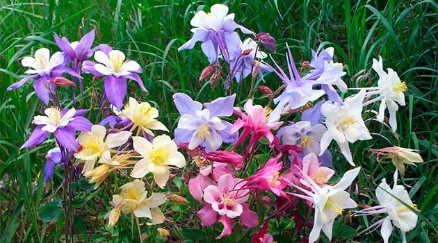 Цвітіння орликів
