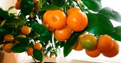 Цитрусові рослини на підвіконні