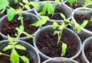 Чому у розсади томатів світлішає листя