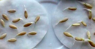 Як перевірити насіння на схожість