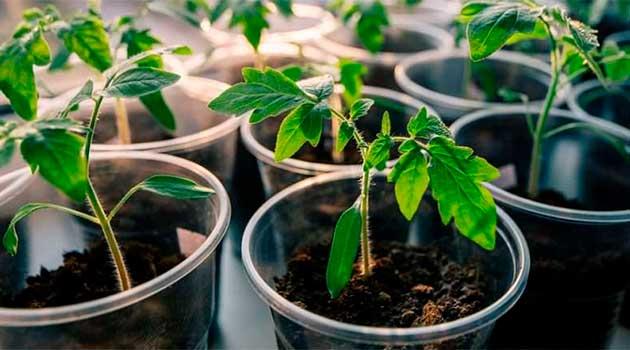 Висадка насіння томатів на розсаду
