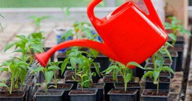 Чим підживлювати розсаду помідорів і перцю