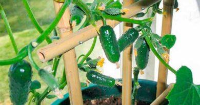 Огірки з підвіконня