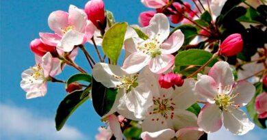 Яблоні в цвіту