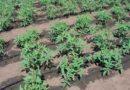 Правильний полив помідорів