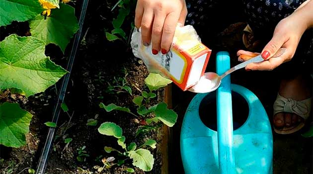 Як застосовувати соду на городі