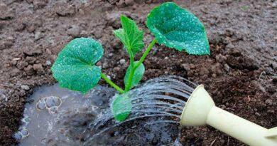 Лимонна кислота при вирощуванні огірків
