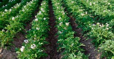 Пізня посадка картоплі