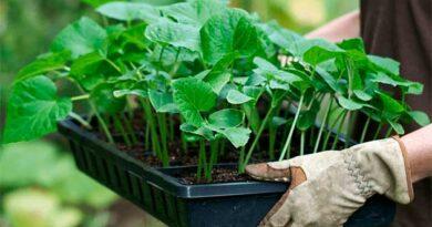 Як вибрати гарну розсаду