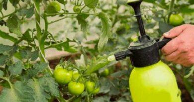 Аспірин проти хвороб томатів