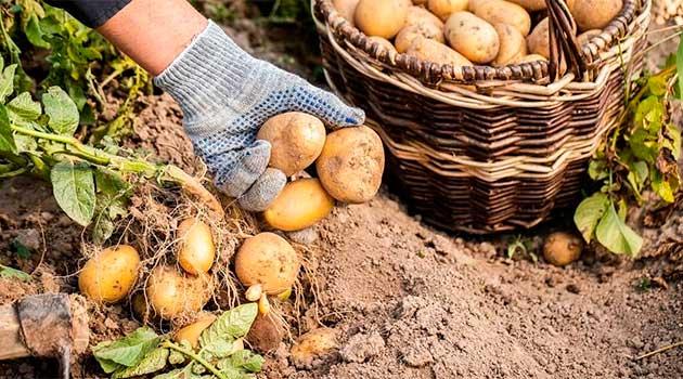 Коли викопувати картоплю