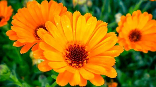 Квіти нагідок